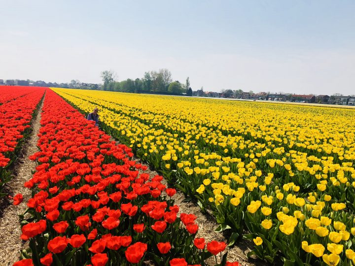 Tulip fields in Hillegom, the Netherlands