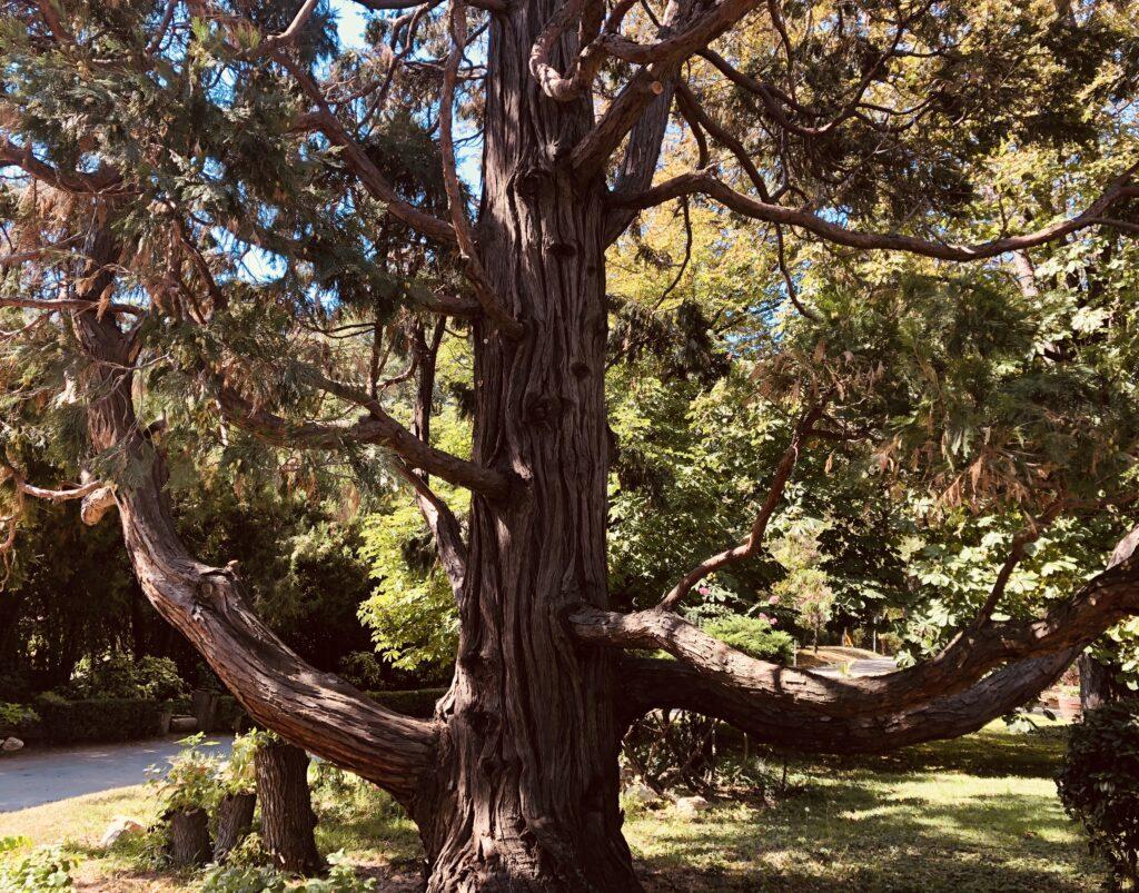 Century-old redwood, Residence Euxinograd