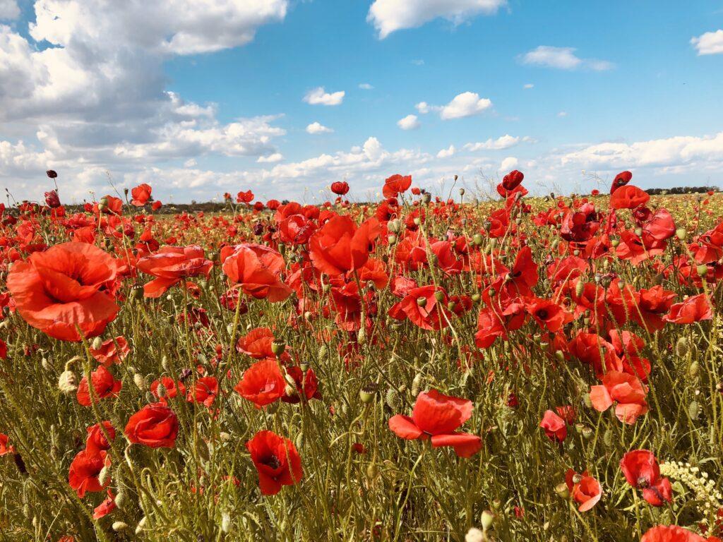 Poppy fields Silistra region